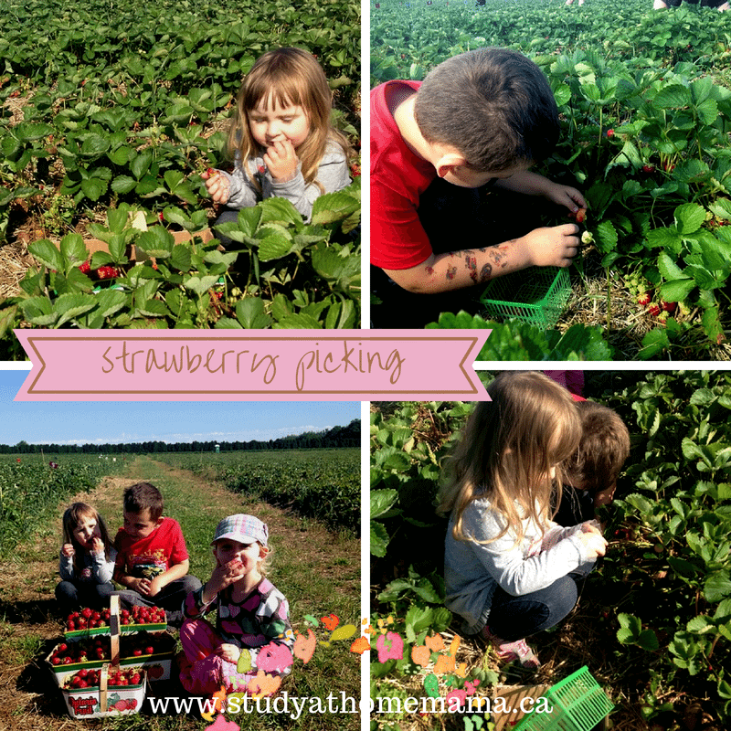 Strawberry picking with the kids to make your own healthy strawberry shortcake recipe