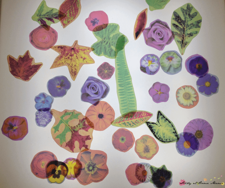 Flower light table activity: explore laminated flowers on the light table for a unique sensory activity for kids - one of 7 ways to play with flowers in this post.